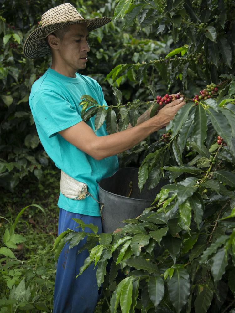 En el Paisaje Cultural Cafetero, el café se siembra en laderas, entre los mil y dos mil metros sobre el nivel del mar, por lo que el proceso de recolección es manual.