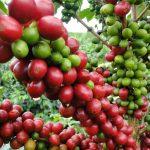 Cultivos de Cafe
