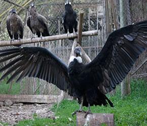 Condores Chilenos