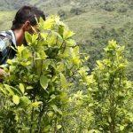CULTIVOS ILICITOS EN COLOMBIA