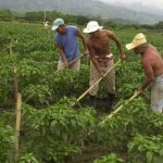 El 85 % de trabajadores del campo en Colombia son informales