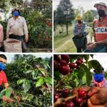 Mayor cosecha del año de Cafe