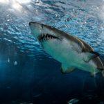 Pesca, artesanal e industrial, de tiburón en aguas de Colombia