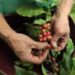 Un campesino recolecta granos de café en un cultivo cerca al municipio de Sasaima, en el departamento de Cundinamarca,2012. REUTERS/José Miguel Gómez