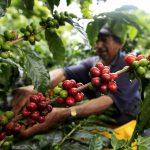 Uun campesino recolecta café en un cultivo cerca al municipio de Montenegro, en el departamento del Quindío, Colombia, REUTERS/José Miguel Gómez