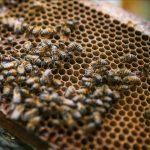 La Liga de las Abejas, un proyecto que busca la construcción de paz y la conservación ambiental Cultivo de abejas durante la época de la pandemia en Viani, departamento de Cundinamarca, Colombia, el agosto 10 de 2020. (Juancho Torres - Agencia Anadolu)