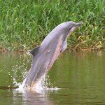 Un delfín gris es fotografiado en el río Amazonas, en Amazonas, Colombia, Gabriel Vargas/Fundación Omacha/vía REUTERS.