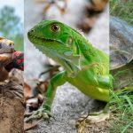 La tortuga morrocoy, la iguana verde y tortuga hicotea figuran entre los animales silvestres más consumidos durante la principal celebración religiosa en Colombia. Fotos: Instituto Humboldt