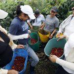Caficultores muestran los frutos de café recogidos en una plantación cerca de Viotá,  REUTERS/José Miguel Gómez