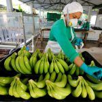 Una mujer trabaja en una finca productora de banano en Carepa. REUTERS/Jaime Saldarriaga