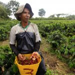 Un campesino recolecta granos de café en un cultivo cerca al municipio de Montenegro, en el departamento del Quindío. REUTERS/José Miguel Gómez