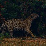 Un jaguar se frota contra la vegetación mientras camina entre el humo de un incendio cercano, en el Parque Estatal Encontro das Aguas, en Pocone, estado de Mato Grosso, Brasil,  REUTERS/Amanda Perobelli/