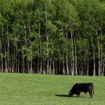 Un toro se alimenta de los campos en las afueras de la aldea de Jitrava, cerca de Liberec, en la República Checa. ARCHIVO. REUTERS/David W Cerny