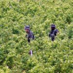 Cultivo de coca en Antioquia,