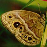 mariposa-alternativa-para-erradicar-plantaciones-coca